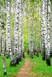 Voie dans la plantation de bouleau d'automne photo libre de droits