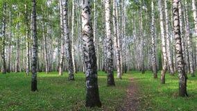 Voie de marche dans la forêt de bouleau d'automne banque de vidéos