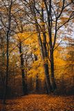 Voie entre les arbres de taille avec les feuilles d'or dans la forêt d'automne Photographie stock
