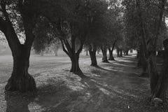 Voie olive Photographie stock libre de droits
