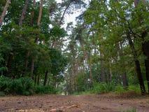 Voie par le chemin forestier de beau pin dans la forêt de pin photo libre de droits
