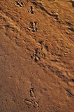 Voies d'émeu dans le désert Image stock