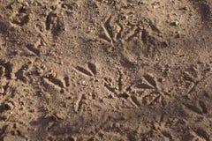 Voies d'oiseau dans le sable Image libre de droits