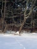 Voies de cerfs communs dans la neige Image libre de droits