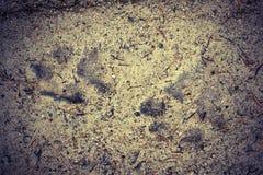 Voies de loup dans la boue image libre de droits