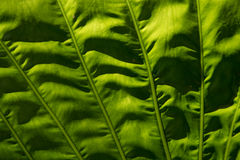 Voile verte Image stock