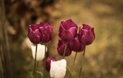 Voilet-Tulpen Stockfotos