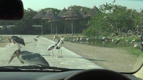 voiture du safari 4K, vue de marabout africain et oiseaux peints de cigogne sur la route banque de vidéos