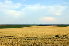 Vojvodina del paesaggio del giacimento di grano Fotografia Stock