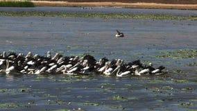 Volée d'alimentation de pélicans au billabong d'oiseau banque de vidéos