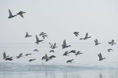 Volée d'oiseau photos libres de droits