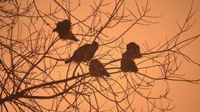 Volée de corneilles de coucher du soleil de nature d'oiseaux se reposant sur le froid d'hiver d'arbre Images stock