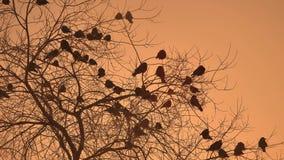 Volée de corneilles de coucher du soleil des oiseaux de nature se reposant sur le froid d'hiver d'arbre Photographie stock