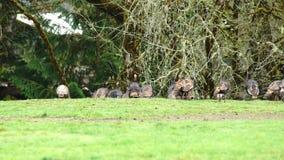 Volée de groupe de grande faune animale Turquie de gibier à plumes banque de vidéos
