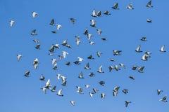 Volée de l'oiseau de pigeon d'emballage de vitesse libérant des bas de concurrence images stock