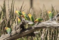 Volée des oiseaux d'amour de Fischers Image libre de droits