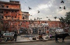 Volée des oiseaux dans les rues de Jaipur, Ràjasthàn, Inde Photographie stock libre de droits