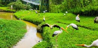 Volée des oiseaux de flamant à l'intérieur de parc d'oiseau de kilolitre, Malaisie 2017 Photo stock