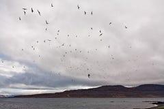 Volée des oiseaux en île de Vigur, Islande Photos stock
