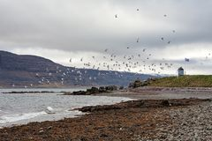 Volée des oiseaux en île de Vigur, Islande Photographie stock libre de droits