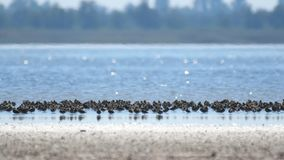 Volée des oiseaux n de bécasseau le lac banque de vidéos