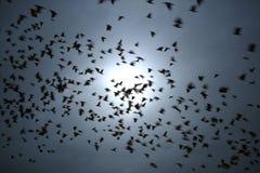 Volée des oiseaux noirs dans le mouvement contre le ciel foncé Photographie stock libre de droits