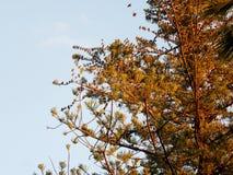 Volée des oiseaux sur l'araucaria d'arbre Photographie stock