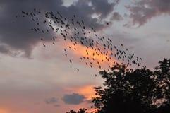 Volée des oiseaux sur le ciel de crépuscule Photos libres de droits