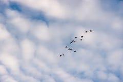 Volée des oiseaux volant dans le ciel nuageux Photos libres de droits