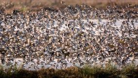 Volée des oiseaux volant près d'un marais Images stock