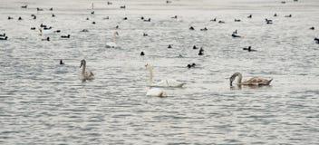 Volées des oiseaux sur le lac dans Pomorie, Bulgarie Photographie stock libre de droits
