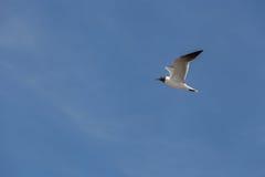 Vol à tête noire de mouette dans le ciel Images libres de droits
