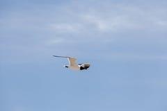 Vol à tête noire de mouette dans le ciel Image libre de droits