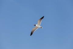Vol à tête noire de mouette dans le ciel Photo libre de droits