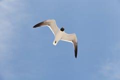 Vol à tête noire de mouette dans le ciel Photographie stock libre de droits