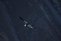 Vol adulte masculin de condor en canyon Image stock