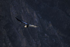 Vol adulte masculin de condor en canyon Images stock