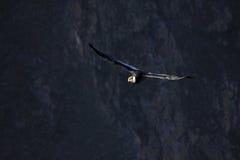 Vol adulte masculin de condor en canyon Photo stock