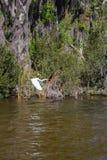 Vol alba d'ardea blanc de h?ron photos stock