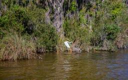 Vol alba d'ardea de héron de Great White près d'un marais images libres de droits