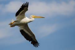 Vol américain blanc de pélican blanc dans un ciel bleu Image stock