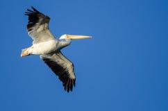 Vol américain de pélican blanc en ciel bleu Image stock
