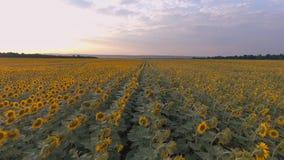 Vol au coucher du soleil au-dessus du champ des tournesols Fond et texture banque de vidéos