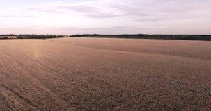 Vol au-dessus d'un champ de blé clips vidéos