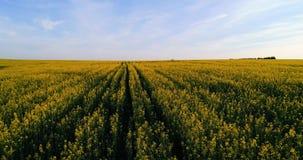 Vol au-dessus d'un champ des fleurs jaunes banque de vidéos
