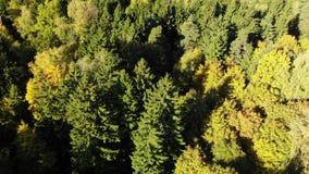 Vol au-dessus de la forêt d'automne avec des pins banque de vidéos