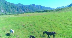 Vol au-dessus de troupeau de chevaux sauvages sur le pré Nature sauvage de montagnes de ressort Concept d'écologie de liberté clips vidéos