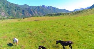 Vol au-dessus de troupeau de chevaux sauvages sur le pré Nature sauvage de montagnes de ressort Concept d'écologie de liberté banque de vidéos