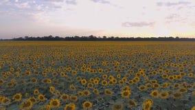 Vol au-dessus du gisement de tournesol dans le coucher du soleil Beaux fond et texture banque de vidéos