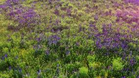 Vol au-dessus du pourpre de loup en fleur au paysage de lever de soleil Lupinus, g?n?ralement connu sous le nom de lupin ou de lo banque de vidéos